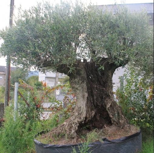 Venta de olivos y palmeras en Ourense