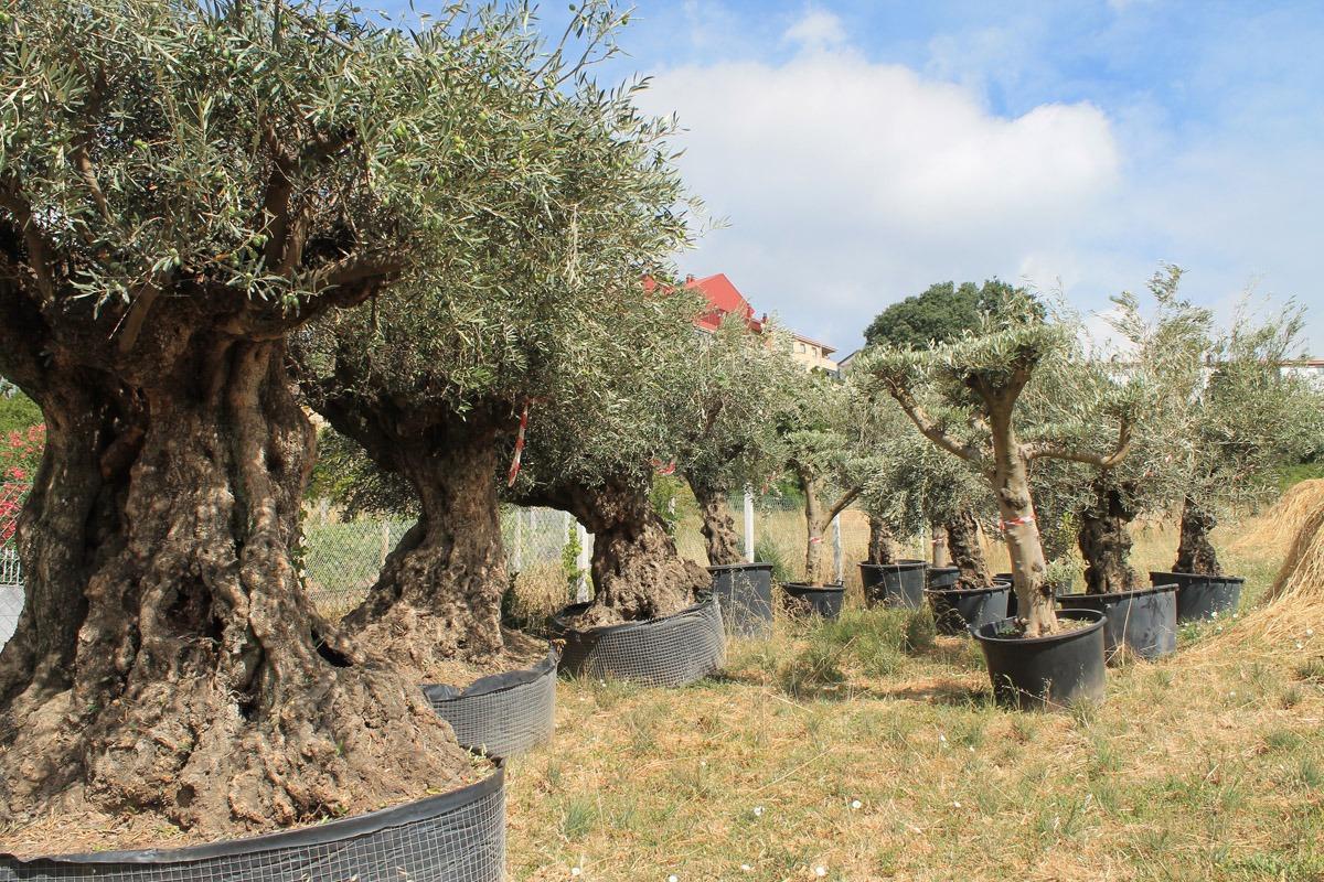 Venta de olivos y palmeras servicios jardiner a xursan - Decoracion de arboles de jardin ...