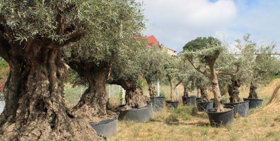 Venta de olivos y palmeras